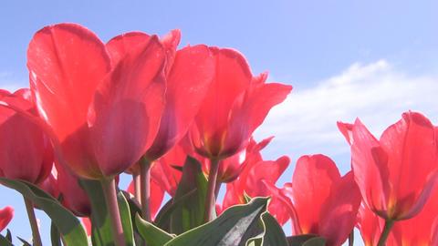 Red Tulips lowangle Footage