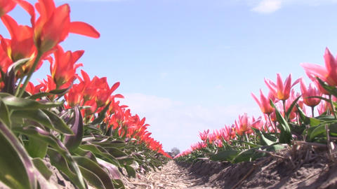 Red Tulips Low Angle Footage
