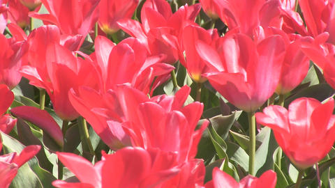 Bright Red Tulips Close Stock Video Footage