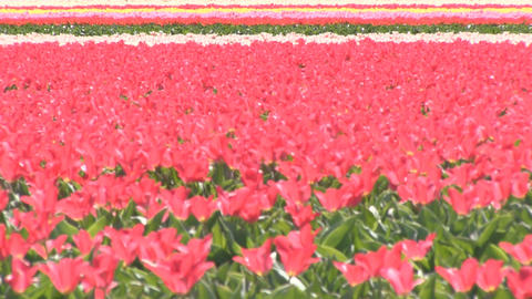 Field Multicolored Flowers Footage
