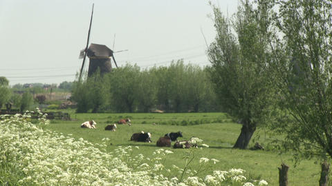 Cows and windmills Footage