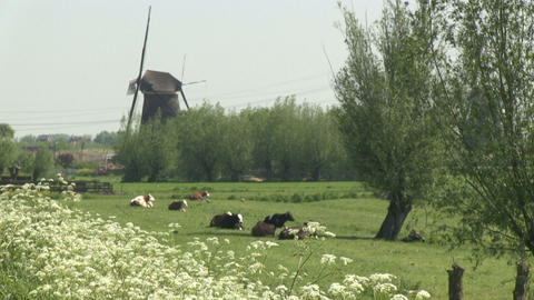 Cows and windmills Stock Video Footage