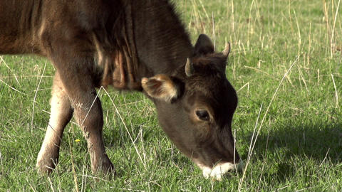Grazing Calf HD Stock Video Footage