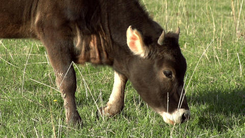 Grazing Calf HD Footage