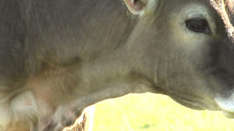 Curious Calf HD Stock Video Footage