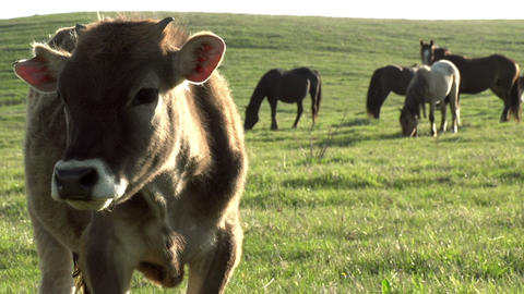 Curious Calf HD Stock Video Footage