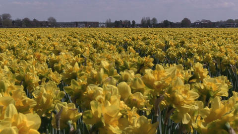 Field Yellow Flowers Stock Video Footage