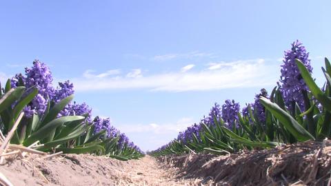 Purple hyacinths Stock Video Footage
