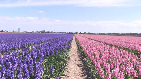 Purple and pink hyacinths Stock Video Footage