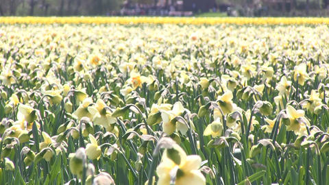 Yellow daffodils and windmill Stock Video Footage