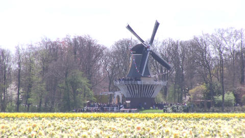 Yellow daffodils and windmill Footage