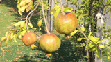 Three Pomegranates Will Be Ripen Soon stock footage
