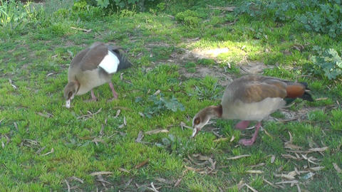 Two wild ducks eating on the grass Stock Video Footage