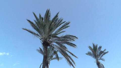 Palm tree in blue sky Footage