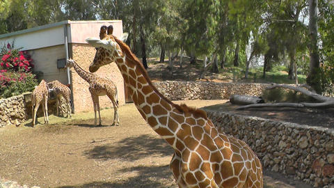 Group of giraffes eating Stock Video Footage
