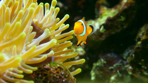 Clown fish Stock Video Footage