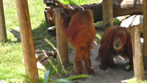 Orangutan at zoo looking for food Stock Video Footage