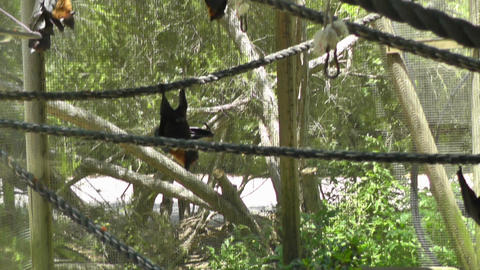 Bat at zoo Stock Video Footage