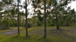 Pine Trees Sunset Stock Video Footage