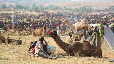 Camel fair Footage