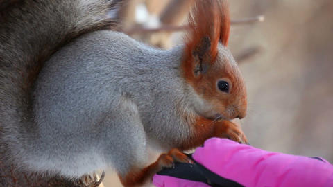 Fearless squirrel Stock Video Footage