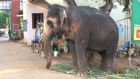 Circus elephant in Indian sweeping his trunk Stock Video Footage