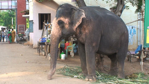 Circus elephant in Indian sweeping his trunk Footage