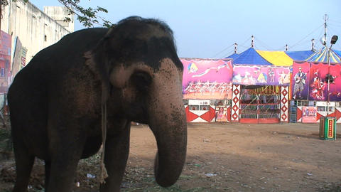 Circus elephant showing his trunk towards camera Stock Video Footage