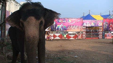 Circus elephant showing his trunk towards camera Footage