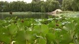 Lotus Leaves stock footage