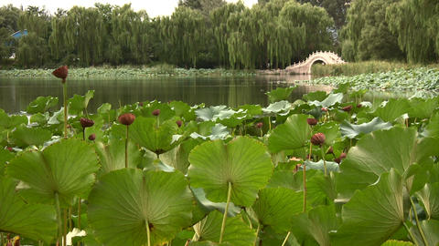 Lotus Leaves stock footage
