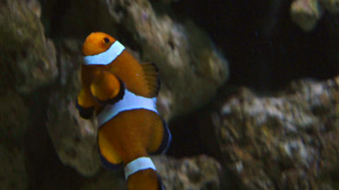 clownfish Footage