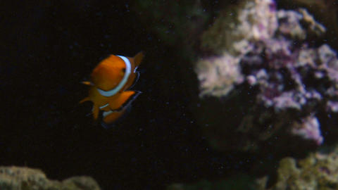 clownfish Stock Video Footage