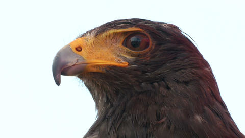 golden eagle close up 01 Stock Video Footage