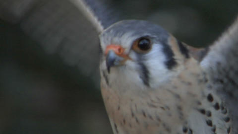 Kestrel Close Up 01 stock footage