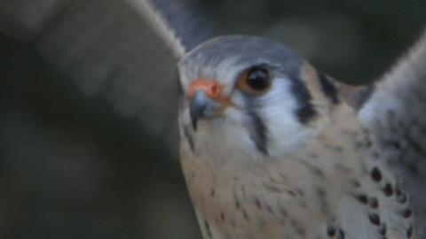 kestrel close up 01 Stock Video Footage