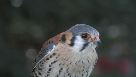 kestrel close up 03 Stock Video Footage