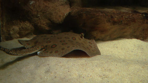 ocellate river stingray 01 Stock Video Footage