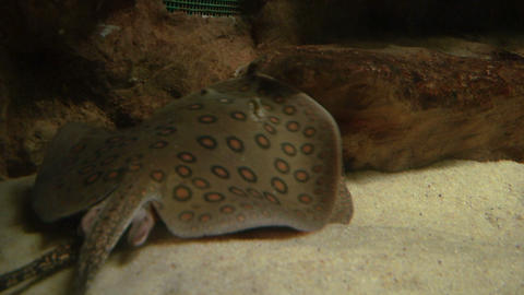 ocellate river stingray 03 Stock Video Footage