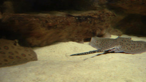 ocellate river stingray 03 Footage