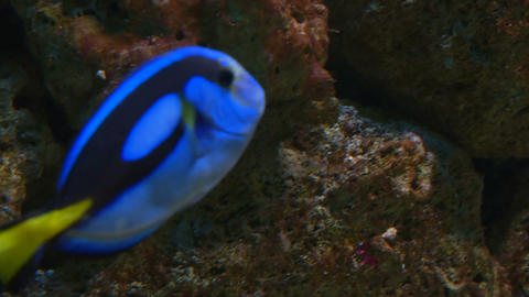 powder blue tang Footage