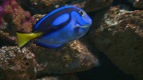powder blue tang Stock Video Footage