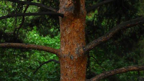 Pine-tree Stock Video Footage