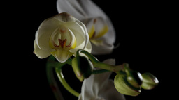 Time-lapse Of White Orchid Opening Stock Video Footage