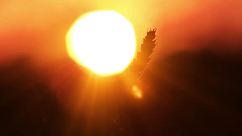 Wheat In The Sun Stock Video Footage