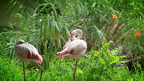 Flamingo cleans her feathers Stock Video Footage