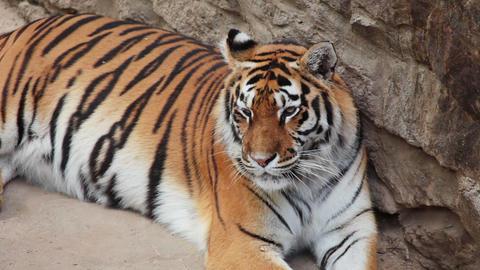 Tiger wants to sleep Stock Video Footage