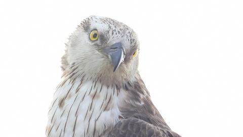 Rough-legged buzzard Stock Video Footage