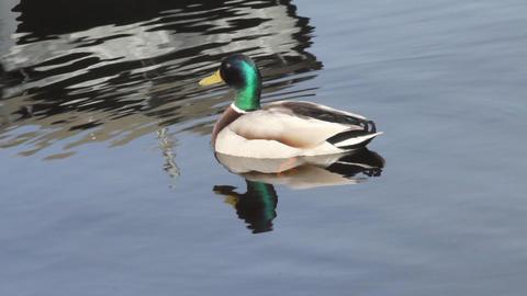 mallard duck Stock Video Footage