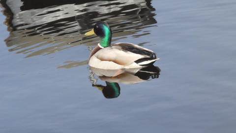 mallard duck Stock Video Footage